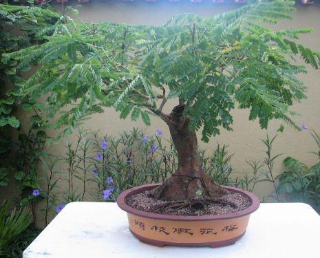 Flamboyant Tree Information How To Grow A Royal Poinciana As A Bonsai